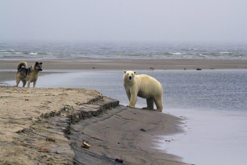 Foto ártica increíble, fauna, osos polares imagen de archivo