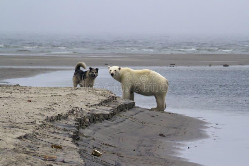 Foto ártica increíble, fauna, osos polares imagen de archivo libre de regalías