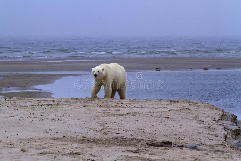 Foto ártica increíble, fauna, osos polares foto de archivo
