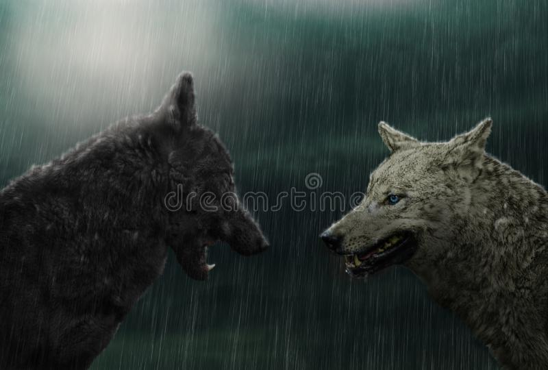 Two wolves in rain stock photos