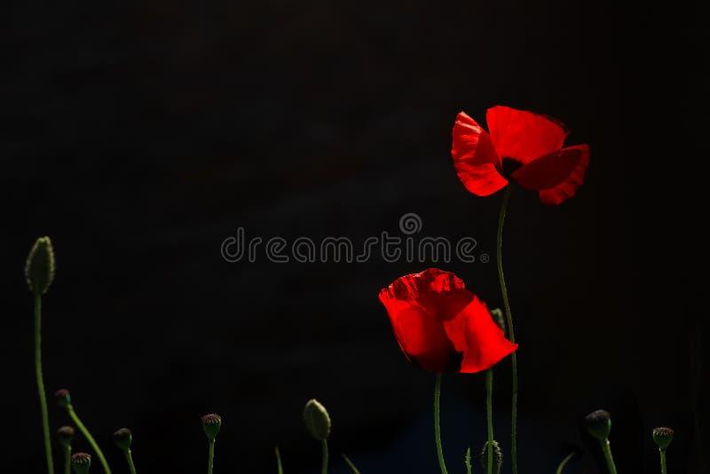 Foto abstrata de papoilas vermelhas em um fundo preto fotos de stock