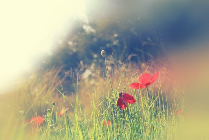 A foto abstrata e sonhadora com baixo ângulo de papoilas vermelhas contra o céu com luz estourou o vintage filtrado e tonificado fotos de stock