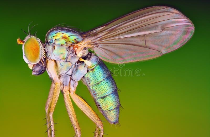 Foto aguda misma de la mosca metálica El objetivo del microscopio utilizó fotografía de archivo