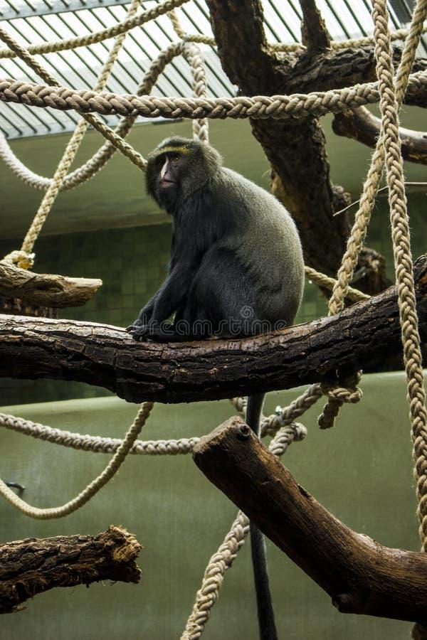 Foto alta vicina del macaco che si siede sul ramo Macrofotografia della scimmia fotografie stock