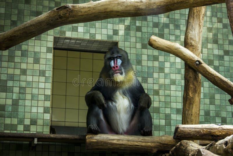 Foto alta vicina del mandrillo Macrofotografia della scimmia immagine stock