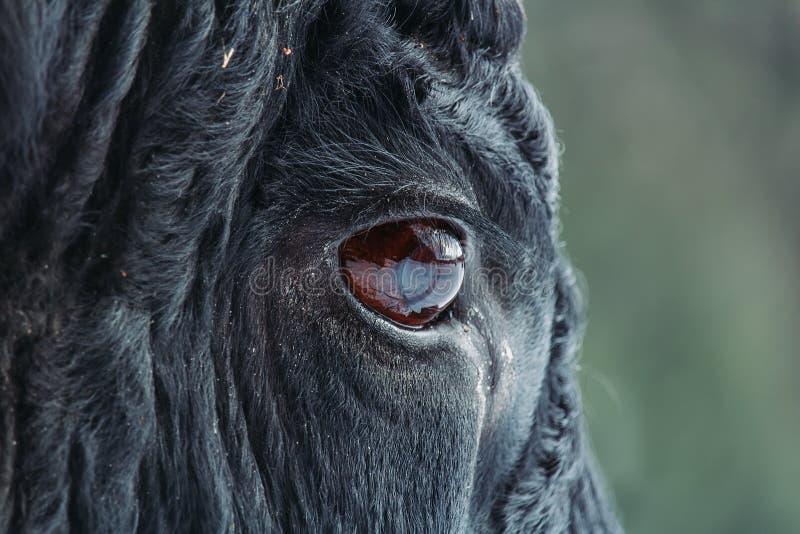 Foto alta vicina dell'occhio di toro nero con fondo blured immagini stock libere da diritti