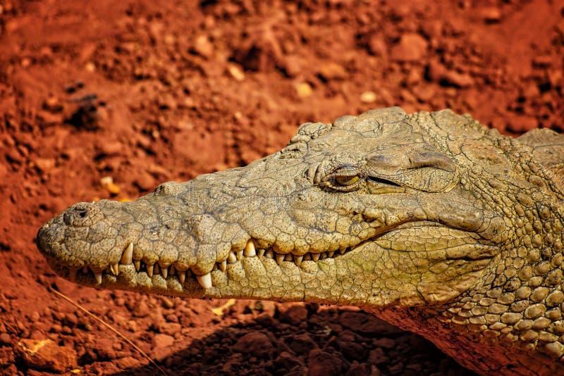 Foto alta vicina della bocca e denti di un coccodrillo di Nilo È ritratto della testa IIt è foto della fauna selvatica del coccod fotografia stock