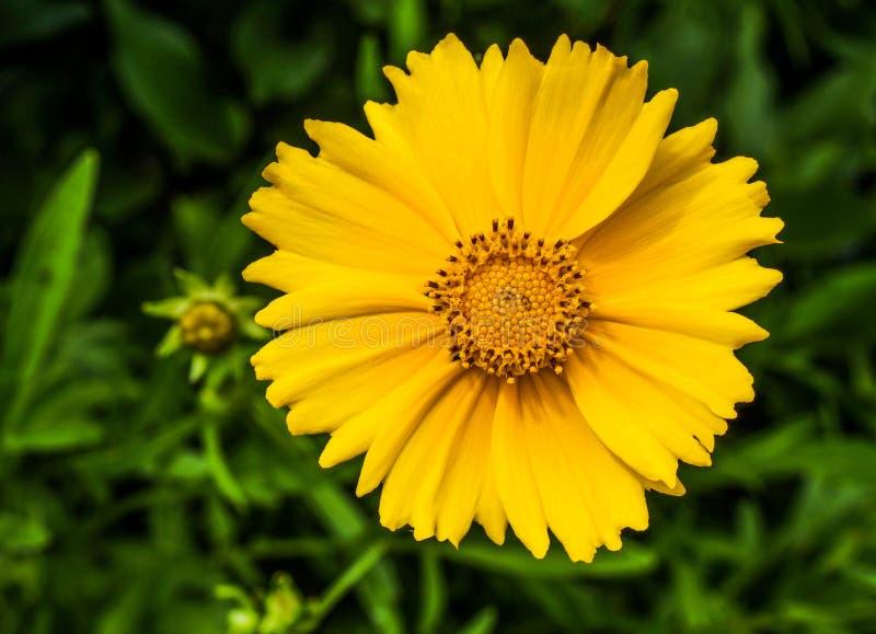 foto amarilla del primer de la flor a parquear imagen de archivo
