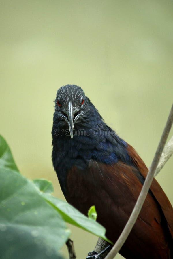 Foto aproximada de Pássaro Preto, Azul e Marrom na Ramificação da Árvore imagem de stock royalty free