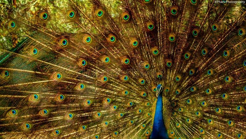 Foto aproximada de Peacock Castanho e Azul fotos de stock