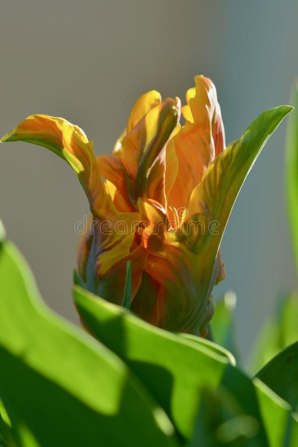 Foto aproximada de uma linda família Liliaceae de flor de tulipa de jardim, laranja-claro sobre fundo de oliveira Profundidade su foto de stock