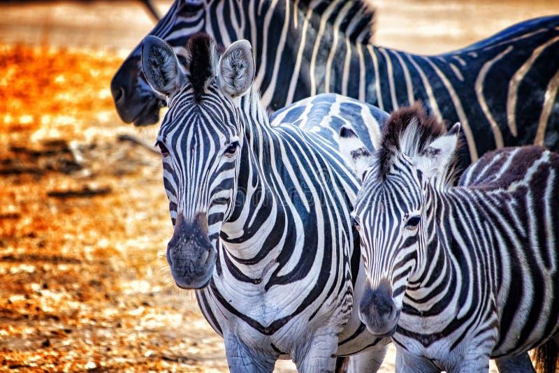 Foto ascendente cercana de cebras en el resererve de Bandia, Senegal Es fotografía de los animales de la fauna en África Hay madr foto de archivo libre de regalías