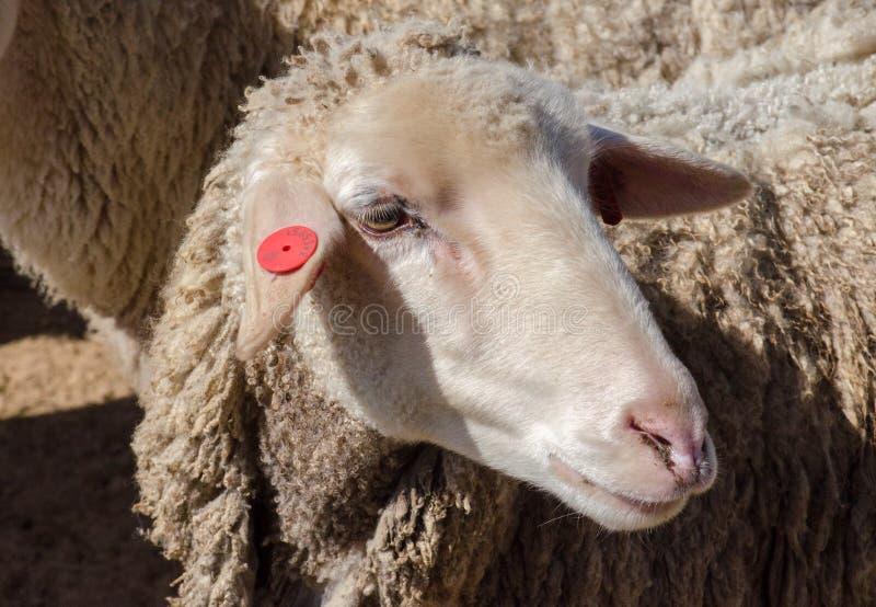 Foto ascendente cercana de la cabeza de las ovejas fotografía de archivo libre de regalías