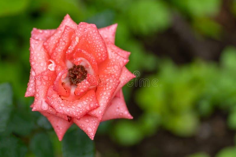 Foto ascendente cercana de la rosa rosada en foco suave y con gotas de lluvia fotografía de archivo libre de regalías