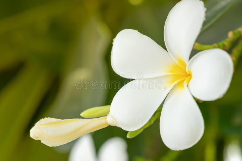 Foto ascendente cercana de las flores blancas del plumeria o del frangipani fotografía de archivo