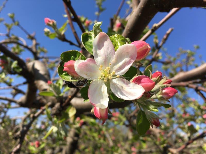 Foto ascendente cercana de las flores del manzano, estaci?n de primavera imagen de archivo libre de regalías