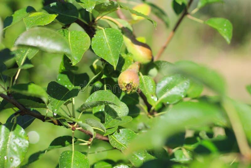 Foto ascendente cercana de pequeñas peras crecientes en las hojas verdes de un árbol imagen de archivo libre de regalías