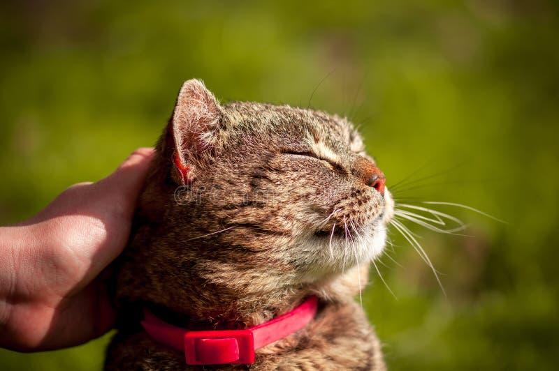 Foto ascendente cercana del gato nacional satisfecho que es frotado ligeramente con la mano en fondo verde borroso foto de archivo libre de regalías