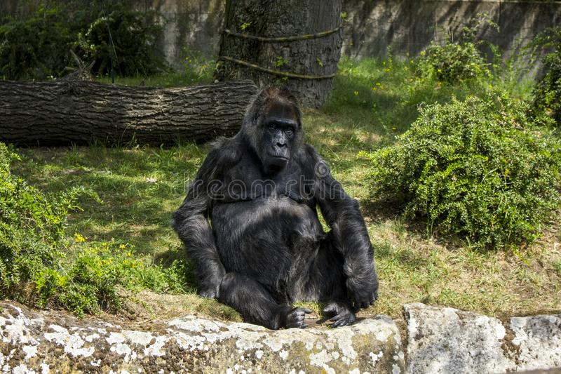 Foto ascendente cercana del gorila que se sienta en la tierra Fotografía macra del mono imágenes de archivo libres de regalías