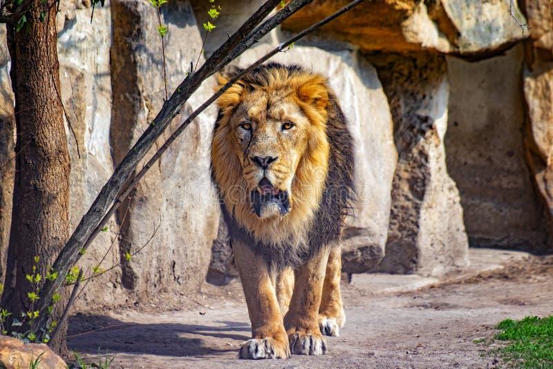 Foto ascendente cercana del león de Barbary Él va El fondo es una roca Es león africano El león de Barbary era un Panthera leo imagen de archivo libre de regalías