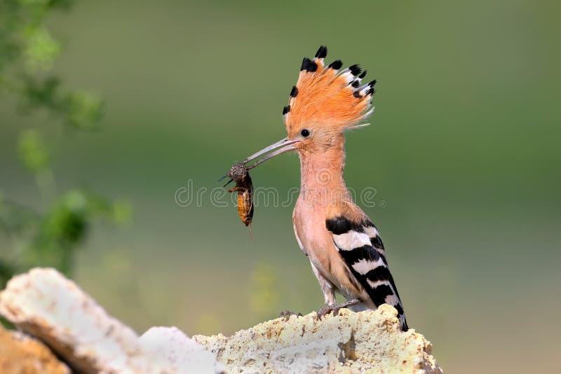 Foto ascendente e detalhada do fim extra de uma fêmea do hoopoe com um grilo de toupeira europeu em seu bico foto de stock royalty free
