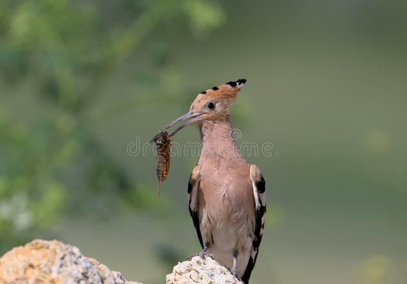 Foto ascendente e detalhada do fim extra de uma fêmea do hoopoe com um grilo de toupeira europeu em seu bico fotografia de stock royalty free