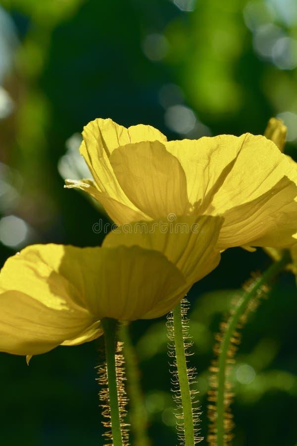 Foto ascendente próxima de duas papoilas amarelas; luz através das pétalas foto de stock royalty free