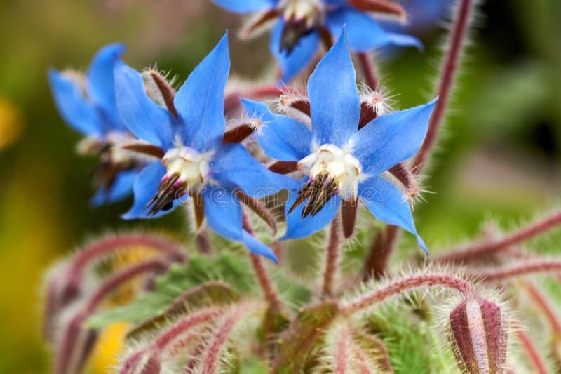 Foto ascendente próxima do borage selvagem, officinalis do Borago, flores em um campo da mola fotos de stock royalty free