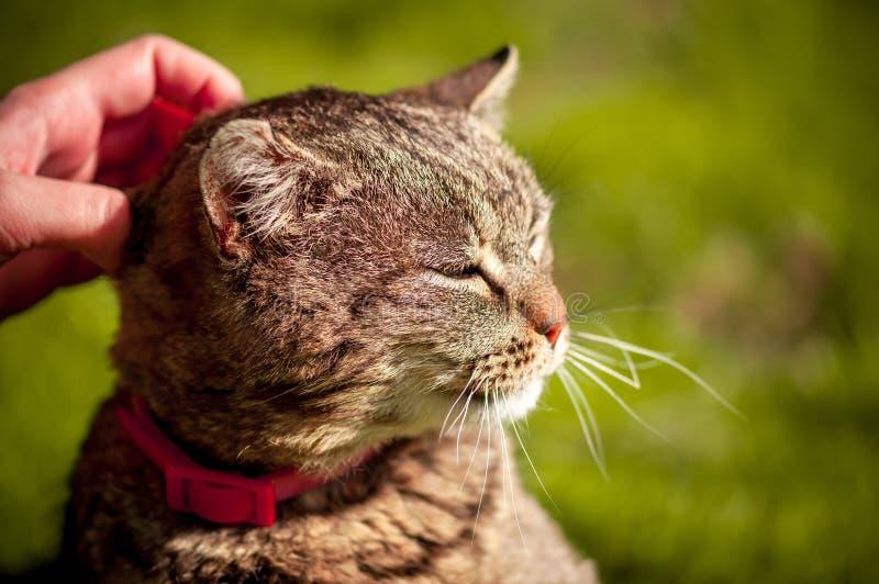 Foto ascendente próxima do gato doméstico satisfeito que está sendo afagado com mão no fundo verde borrado fotos de stock royalty free