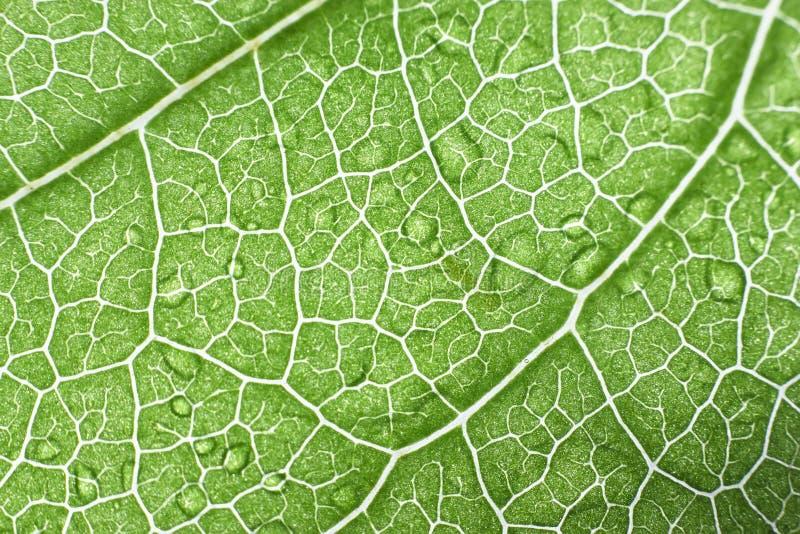 Foto ascendente próxima do macro de uma folha verde fotografia de stock royalty free