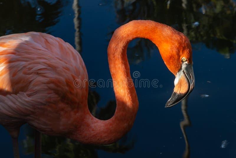 Foto ascendente próxima do retrato da cabeça e do pescoço do flamingo americano fotos de stock