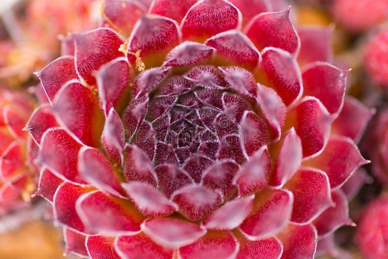 Foto astratta del primo piano del succulente rosso scuro, sopra la vista immagine stock libera da diritti