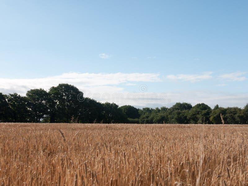 Foto auf Lager - Feld des goldenen Grasweizens in Sommer wivenhoe ess stockfotografie