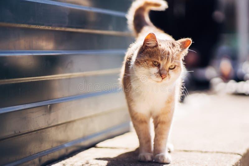 Foto av att gå den olyckliga ljust rödbrun hemlösa katten med det sicked ögat fotografering för bildbyråer