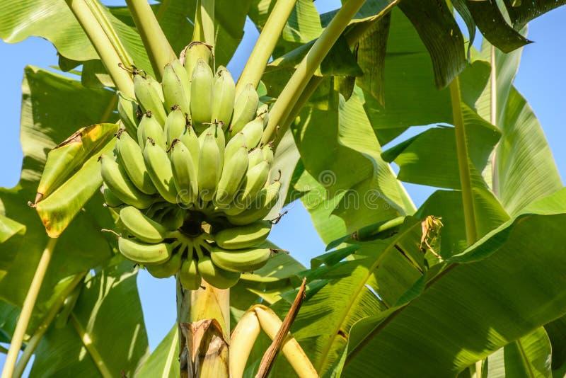 Foto av bananen och bananväxten royaltyfria foton