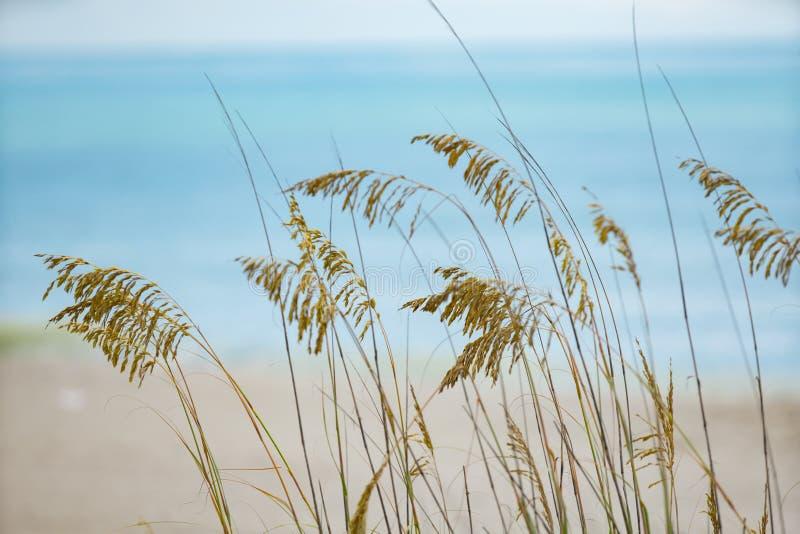 Foto av beachgrass Myrtle Beach South Carolina USA fotografering för bildbyråer