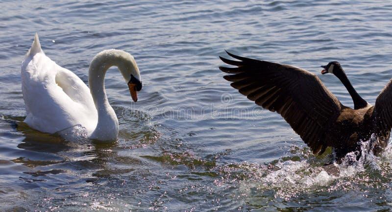 foto av den fantastiska kampen mellan den Kanada gåsen och svanen royaltyfria foton