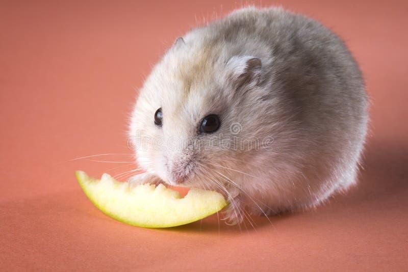 Foto av den gnagande skivan för hamster av äpplet fotografering för bildbyråer