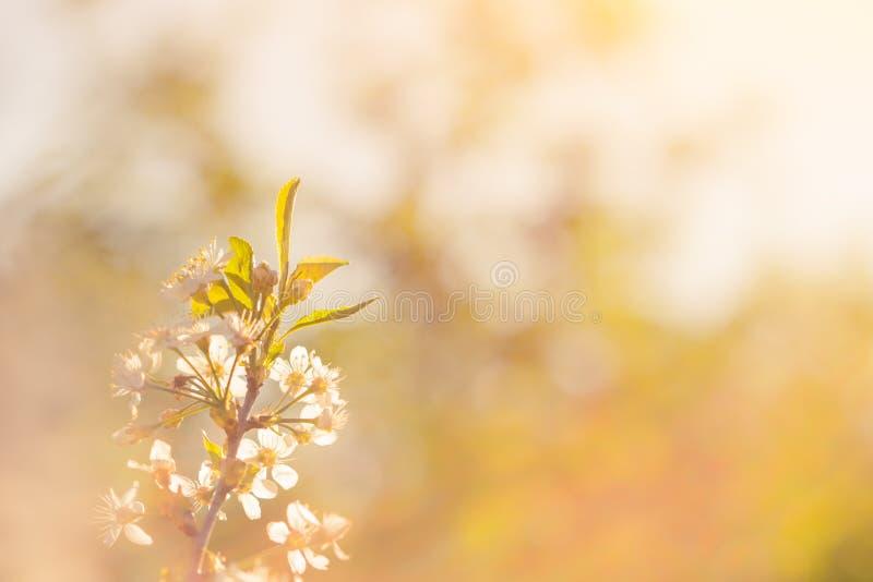 Foto av den härliga körsbärsröda blomningen, abstrakt naturlig bakgrund, konst, säsong för vårtid, äpple som blommar i den soliga fotografering för bildbyråer