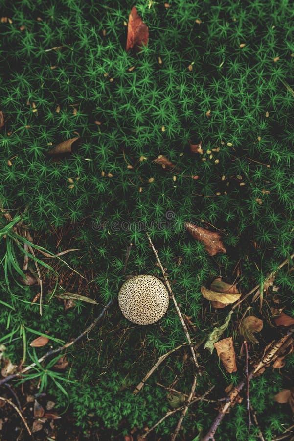 Foto av den lilla champinjonen i skogen på grön mossa royaltyfri foto