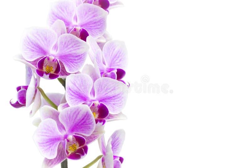 Foto av den mjuka orkidéfilialen som blomstrar med lilablommor som isoleras på vit bakgrund Blommande twi för Phalaenopsisorkidéb royaltyfri bild