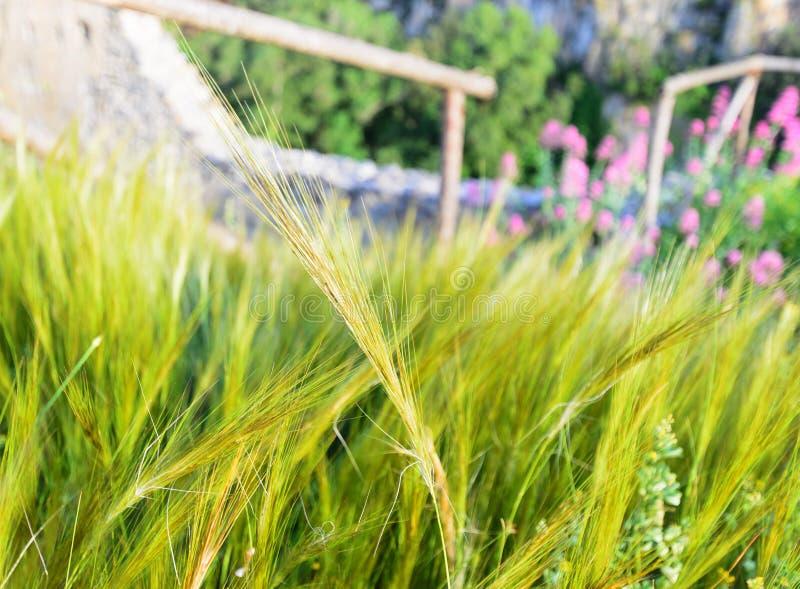 Foto av en härlig gräsbakgrund med spikelets royaltyfria bilder