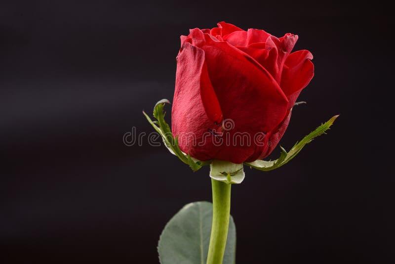 Foto av en röd ros på en svart bakgrund i en studio Tänder arkivfoto