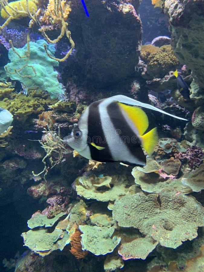 Foto av en tropisk fisk p? en korallrev arkivbild