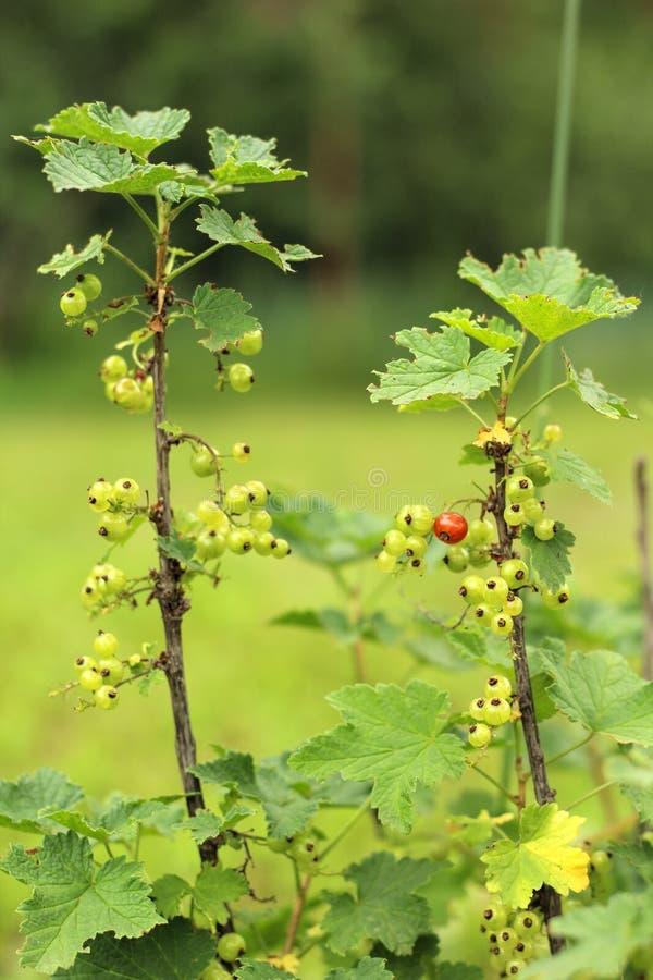 Foto av en ung vinbärbuske som växer i trädgården, lantgård Växande vinbär Gröna omogna vinbärbär på busken _ arkivbild