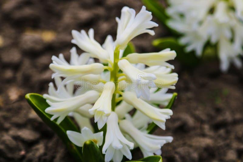 Foto av en vit hyacintblomma för skönhet Bakgrund av att blomma hyacinten med vita knoppkronblad och gröna sidor arkivbilder