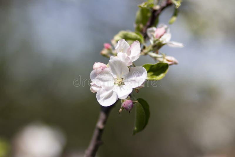 Foto av ett blommande äppleträd royaltyfria foton