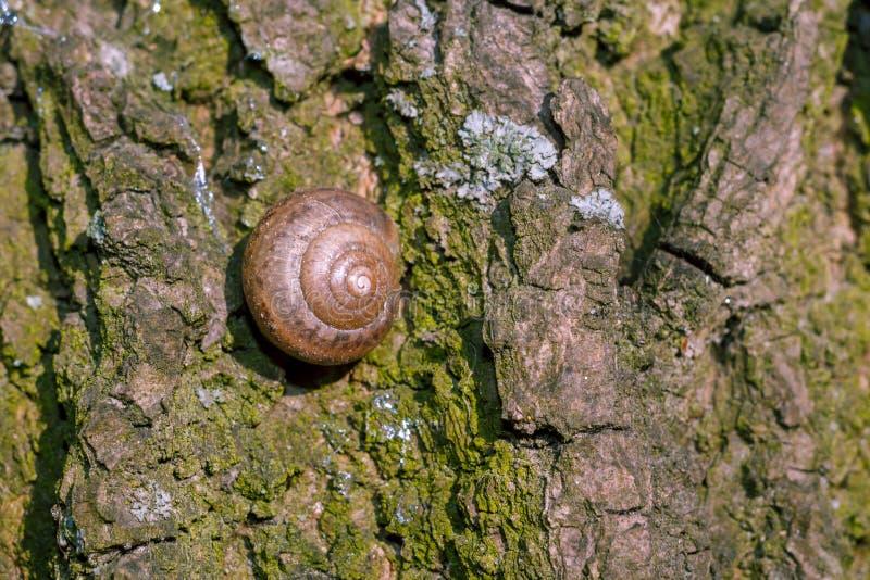 Foto av ett naturligt stillebenskal av en snigel arkivfoto