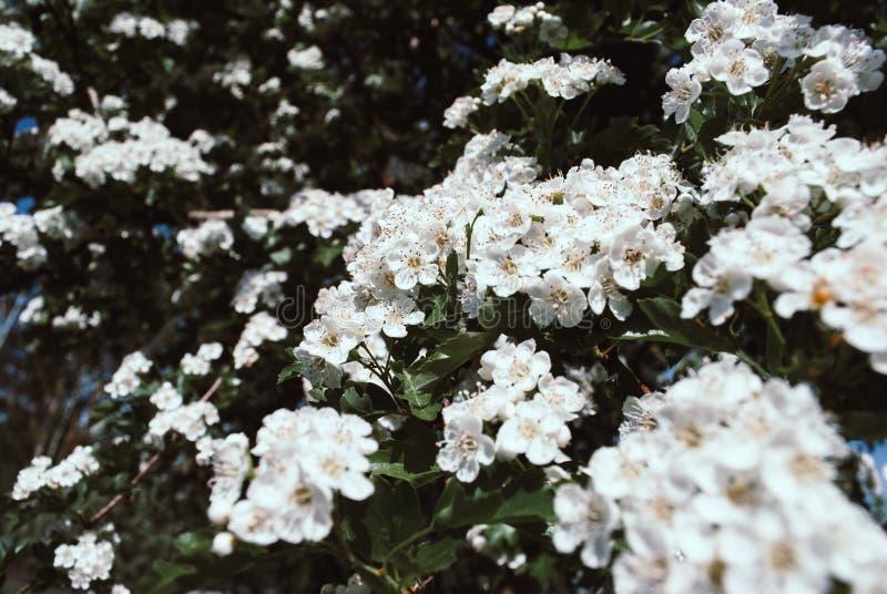 Foto av hagtorn blomstrar att växa på en filial som reflekterar set arkivbild