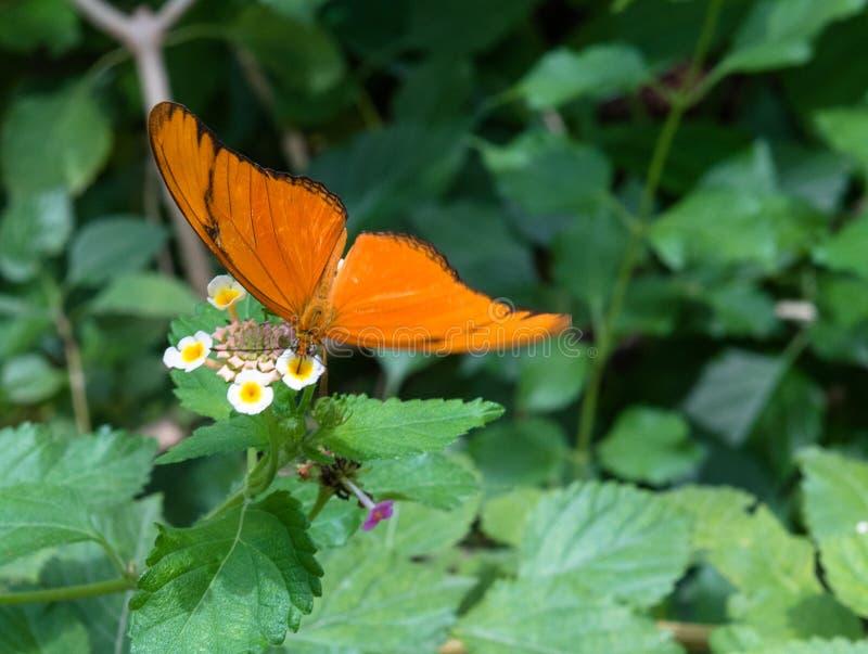Foto av Julia Butterfly arkivbilder